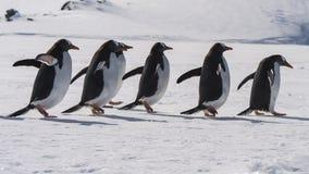 Прогулка пингвина Gentoo на снеге Стоковые Изображения RF