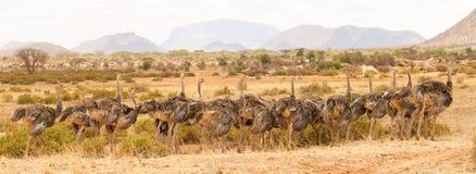 Прогулка страуса Стоковая Фотография