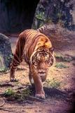 Прогулка тигра stealthily стоковая фотография