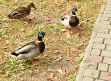 Прогулка уток в парке Стоковые Фото
