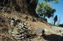 Прогулка утра, конец-вверх сосн-конуса, силуэт на backgro Стоковое Фото