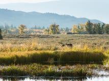Прогулка утра коричневого гризли около домов Соединенные Штаты Nat Стоковые Фото