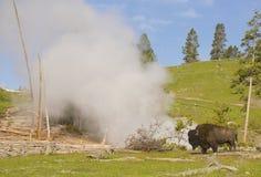 Прогулки бизона около гейзера в Йеллоустоне Стоковые Изображения