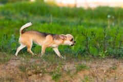 Прогулки собаки чихуахуа Стоковые Фото