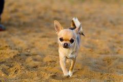 Прогулки собаки чихуахуа Стоковые Изображения
