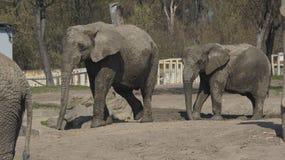 Прогулки слонов Стоковые Изображения