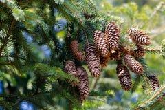 Продольные конусы кавказской ели, Abies, вид от branc Стоковое Изображение