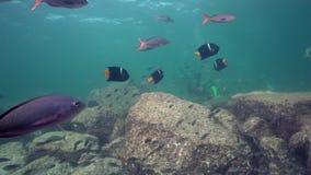 Проезжий короля Angelfish Holacanthus и школа океанских рыб в Ла Paz моря Cortez острова Лос Isoletes видеоматериал