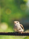 Проезжий Domesticus воробья дома на загородке Стоковые Фотографии RF