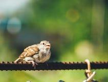 Проезжий Domesticus воробья дома на загородке Стоковая Фотография RF
