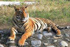 проект сохраняет тигра стоковое изображение
