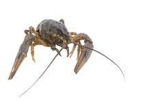 прожитие crawfish Стоковая Фотография