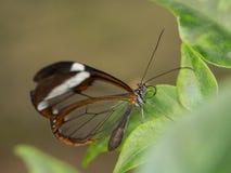 Прозрачная коричневая бабочка Стоковое фото RF