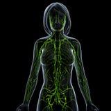 Прозрачная лимфатическая система женщины Стоковое Изображение