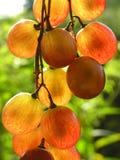 прозрачное виноградин красное Стоковые Изображения