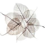 Прозрачные высушенные листья падения Стоковые Изображения RF