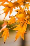 Прозрачные кленовые листы в Backlight Стоковые Фотографии RF