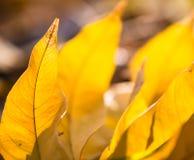 Прозрачные листья в Backlight Стоковые Изображения