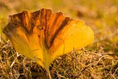 Прозрачные листья гинкго Стоковое Изображение RF