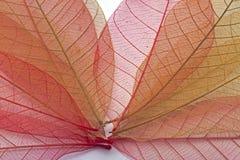 Прозрачные листья стоковые изображения