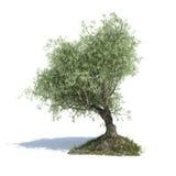 Проиллюстрированное оливковое дерево 3d Стоковое Фото
