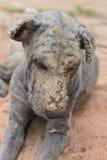 Проказа кожи собаки Стоковое фото RF