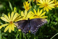 Прокладывайте трубопровод бабочка Swallowtail, распространение крылов, на желтом цветке стоковые изображения rf