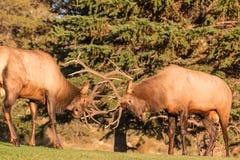 Прокладывать бой лося Bull Стоковая Фотография RF