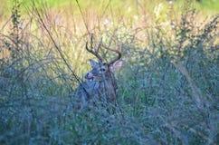 Прокладывать Флориде -го самец оленя в ноябре Стоковые Изображения RF