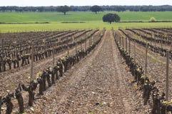 Пролом бутона виноградника стоковые изображения rf
