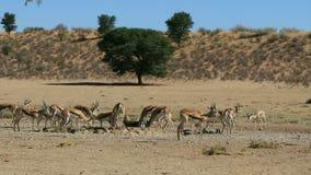 Промежуток времени - антилопы прыгуна на waterhole акции видеоматериалы