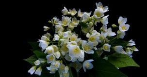 Промежуток времени белых цветков жасмина зацветая на черной предпосылке, канале альфы акции видеоматериалы