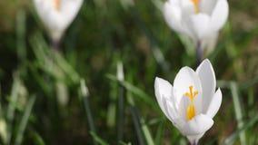 Промежуток времени белого крокуса раскрывая свое цветение видеоматериал
