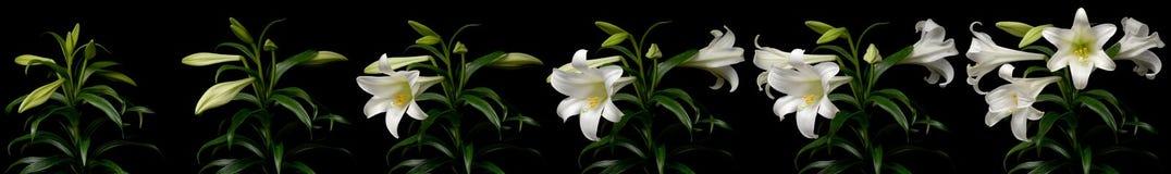 Промежуток времени белой лилии Стоковая Фотография RF