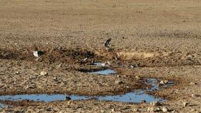 Промежуток времени - голуби черепахи накидки на waterhole сток-видео