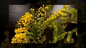 Промежуток времени зацветать цветков мимозы акции видеоматериалы