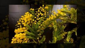 Промежуток времени зацветать цветков мимозы видеоматериал