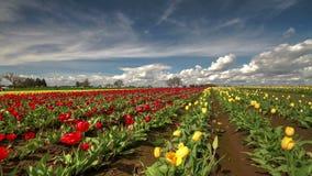 Промежуток времени поля тюльпана с облаками акции видеоматериалы