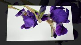 Промежуток времени расти голубой цветок радужки акции видеоматериалы