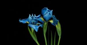 Промежуток времени расти голубой цветок радужки сток-видео