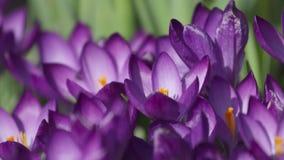 Промежуток времени фиолетового крокуса раскрывая свое цветение видеоматериал