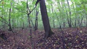 Промоина в лесе русского соснового леса видеоматериал