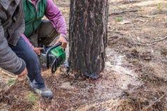 Промышленная сосна пиля лесопогрузчиками используя цепную пилу стоковые изображения rf