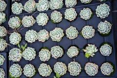 Промышленное земледелие культивирования завода цветка внутри зеленого дома Стоковые Изображения