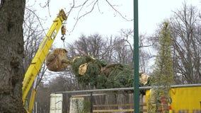Промышленный кран поднимает вверх ель со своими в оболочке корнями и ветвями связанными вверх сток-видео