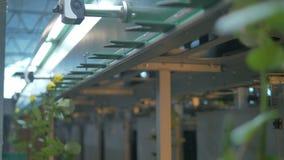 Промышленная машина транспортируя длинные розы стержня сток-видео
