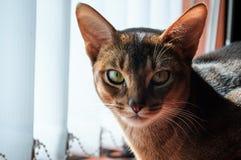 Проницательный взгляд абиссинского кота стоковое изображение rf