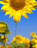пропуская головной солнцецвет масла Стоковые Изображения RF