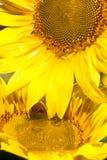 пропуская головной солнцецвет масла Стоковое Изображение