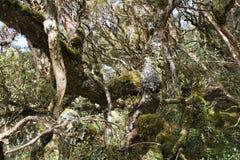 Пропуск эквадор Papallacta полесья Polylepis стоковое фото